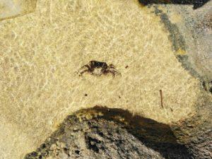 crab sea water malia crete greece