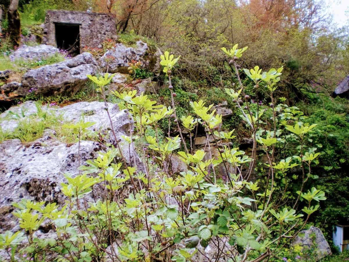 fig tree skadar lake montenegro