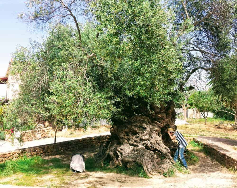 Baby sleeping in his car-seat under the oldest olive tree in Crete