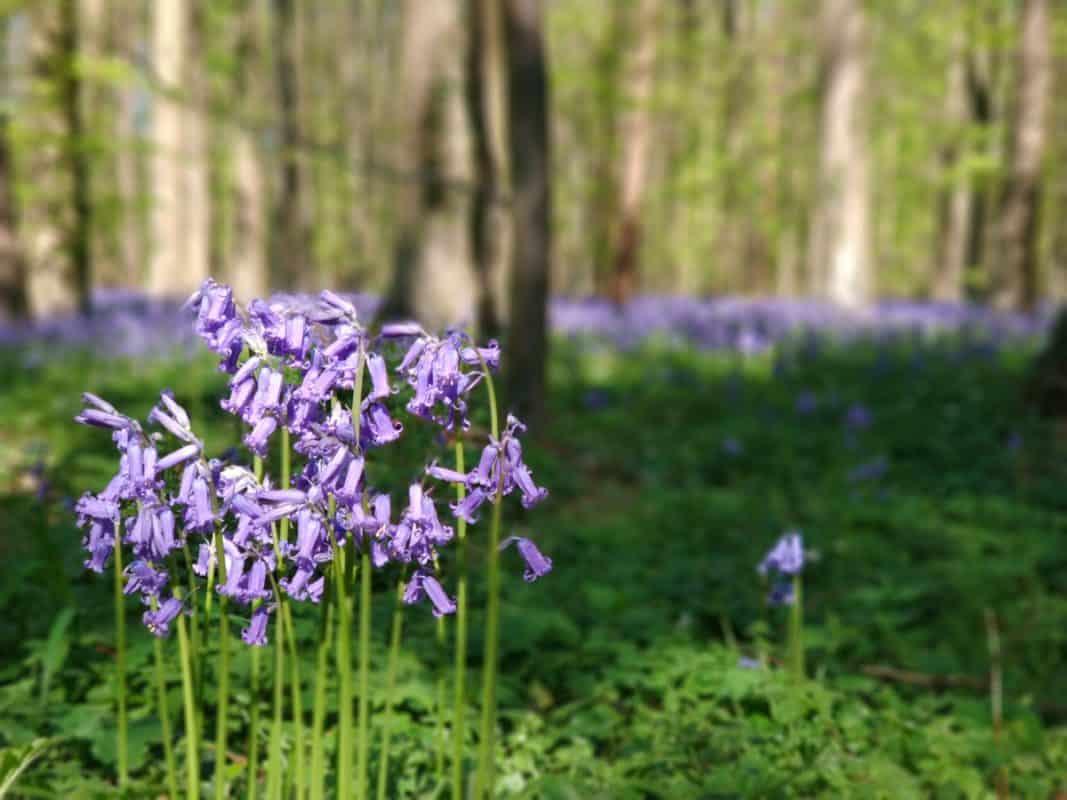 hallerbos bluebell forest belgium