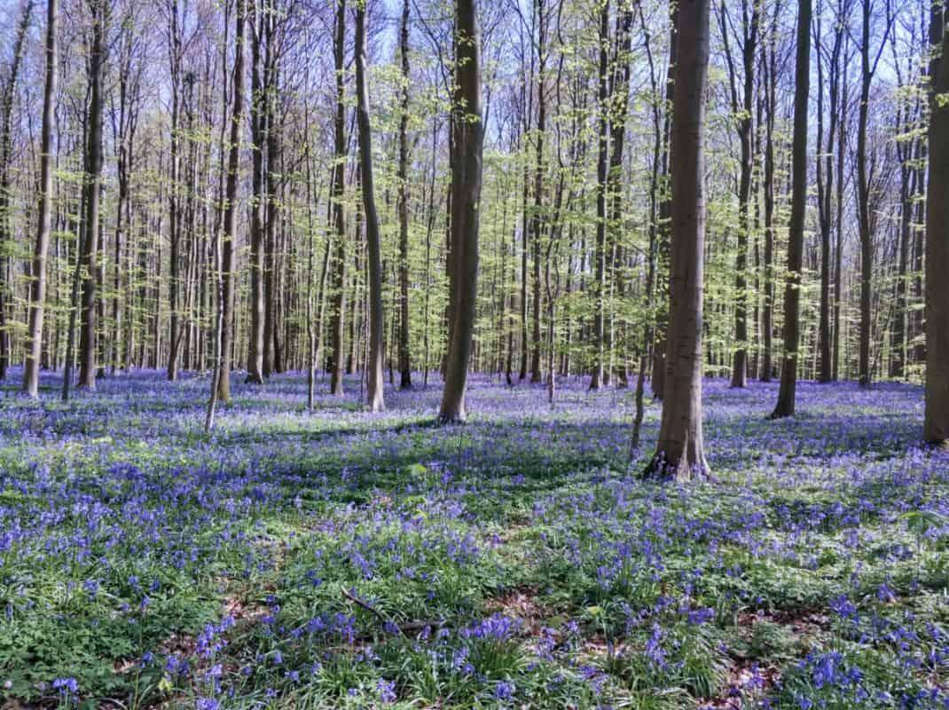 hallerbos belgium bluebell forest